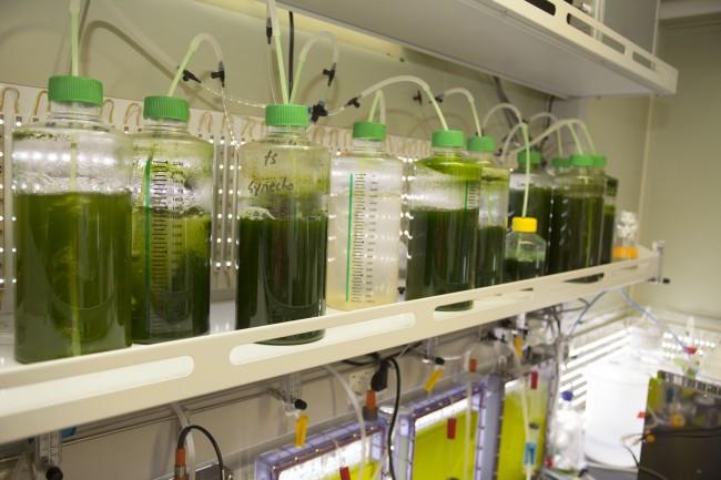 차세대바이오매스연구단은 다양한 조건의 배양기에서 미세조류를 키우고 있다. - 김상현 제공